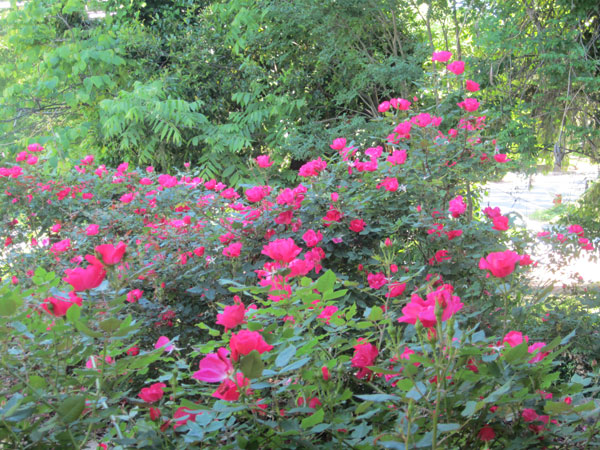 Beautiful rose bush in the front yard!